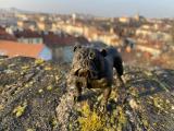 Figurine of an english bulldog made of bronze